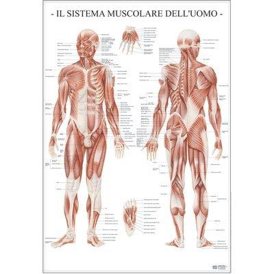 Belletti-MS37PL-Poster-Scientifico-Belletti-67×100-cm-Sistema-Muscolare-DellUomo-0